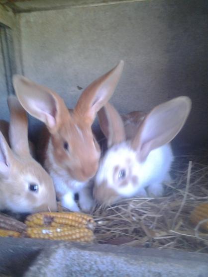 lapins papillons crois s montauban de bretagne animaux lapins montauban de bretagne. Black Bedroom Furniture Sets. Home Design Ideas