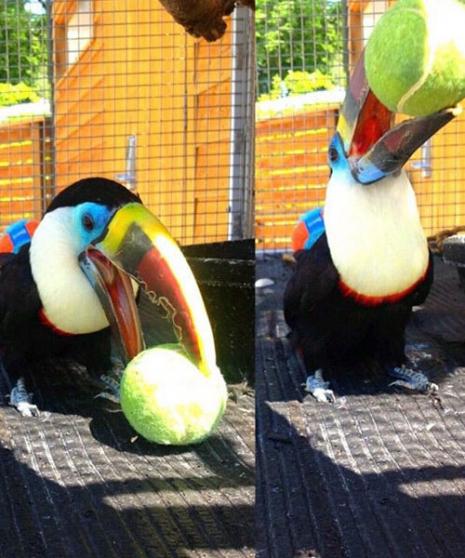 Annonce occasion, vente ou achat 'Toco toucan'