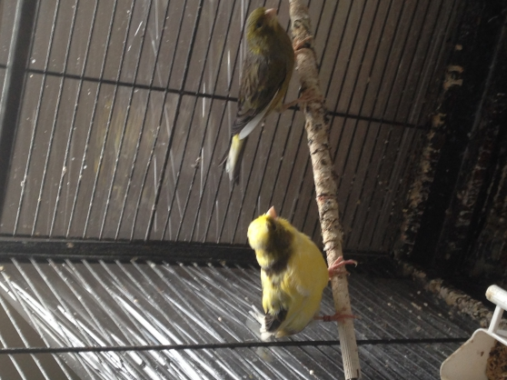 Couple de canaris