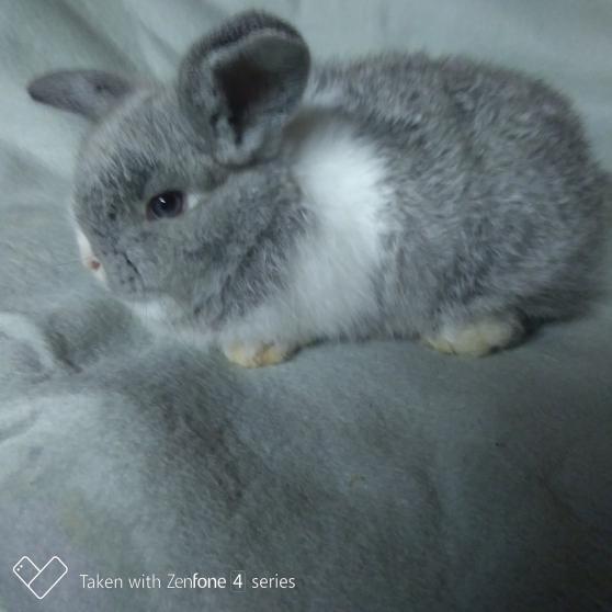 Annonce occasion, vente ou achat 'Bébé lapin bélier nain'