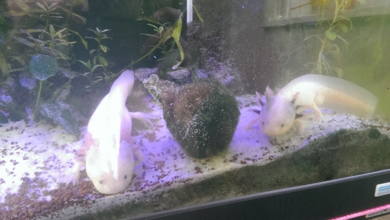 Annonce occasion, vente ou achat 'donne axolotl'