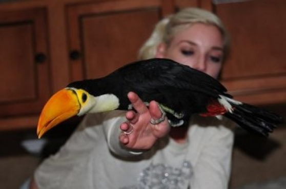 Ramphastos toco toucans paire