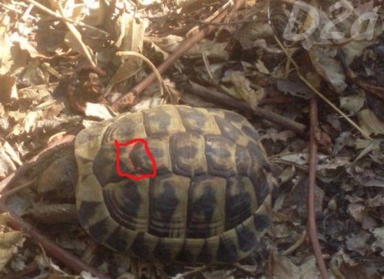 Annonce occasion, vente ou achat 'tortue de terre'