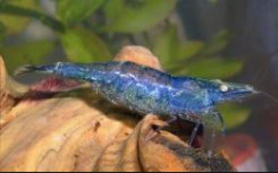Crevette d'eau douce pour un bassin