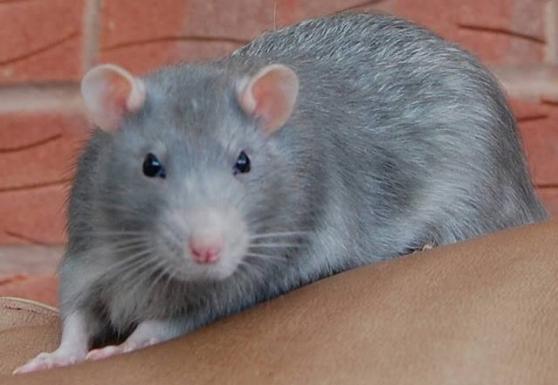 GERBILLE, RAT, SOURIS
