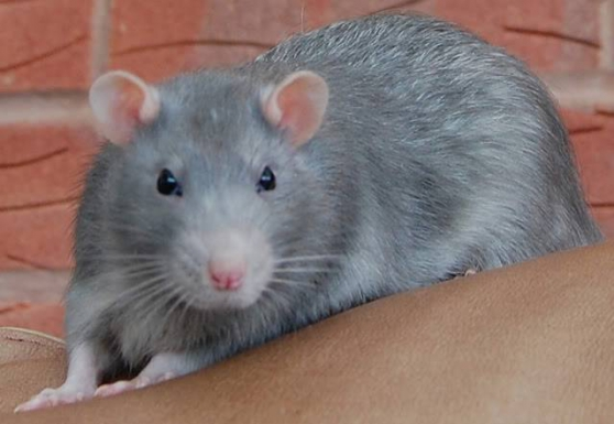 GERBILLE, RAT, SOURIS - Photo 1