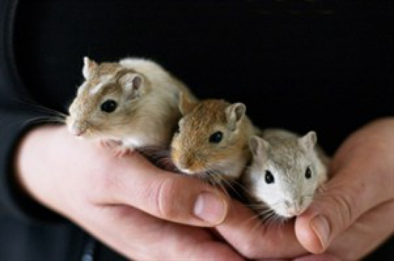 GERBILLE, RAT, SOURIS - Photo 2