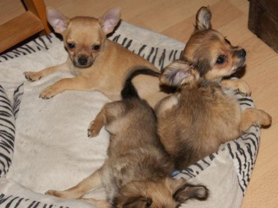 chiots type chihuahua