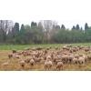 Brebis / agnelles / agneaux