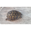 Couple tortues HH reproducteur