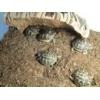 tortue juvenille - Annonce gratuite marche.fr