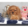 Chiot cavalier king charles(votre email)