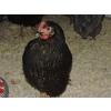 poules pondeuses rousses de 20 semaines - Annonce gratuite marche.fr