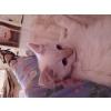 chaton sacré de birmanie - Annonce gratuite marche.fr