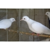 colombe - Annonce gratuite marche.fr