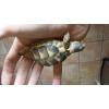 tortues de terre (testudo m). - Annonce gratuite marche.fr