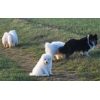 Adorables Chiots Samoyede