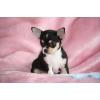 Bb Chiot chihuahua agé de 3 mois