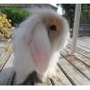 petites lapines béliers - Annonce gratuite marche.fr