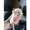 bébé chinchilla 4 mois - Annonce gratuite marche.fr