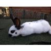 lapins géant papillon - Annonce gratuite marche.fr