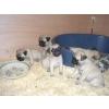 Chiots carlin (pug) à donner urgemment