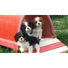 Adorables Cavalier king charles lof