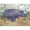 Porcs et porcelets gascon pure race