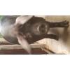 porcs et porcelets gascon pure race - Annonce gratuite marche.fr