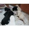 Chiots Labrador inscrit au lof