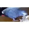 Perdu perroquet Gris du Gabon