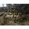 tortue léopard (pardalis) 3 ans - Annonce gratuite marche.fr