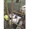 moutons - Annonce gratuite marche.fr