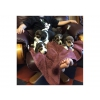 Chiots beagle inscrits  au lof