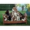 Superbes Chiots beagle lof