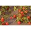 40 graines de tomate petit moineau