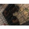 Cochon d'Inde + cage