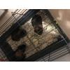 cochon d'inde + cage - Annonce gratuite marche.fr