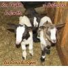 adorables chèvres mini naines sans corne - Annonce gratuite marche.fr
