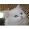 Magnifiques chatons Persan