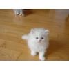 magnifiques chatons persan à ambillou-château - Annonce gratuite marche.fr