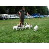 Chiots jack russel