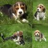 Chiots beagle
