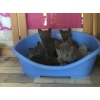 Chatons chartreux