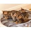 chatons bengal inscrits au loof - Annonce gratuite marche.fr