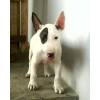 Chiots bull terrier