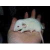 A adopter bébés rats ratons mâles rex /