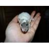 a adopter bébés rats ratons mâles rex / - Annonce gratuite marche.fr