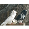pigeons de race - Annonce gratuite marche.fr
