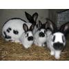 Bébés lapins géant papillon pure race
